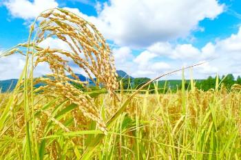 Rice plant 稲