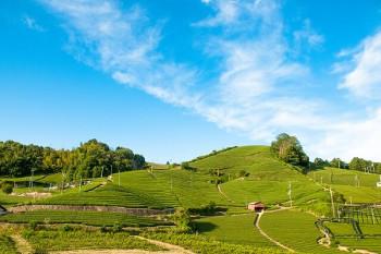 宇治の茶畑の画像