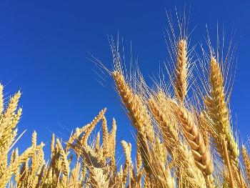ライ麦の画像