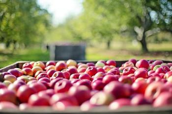 りんご農園の画像