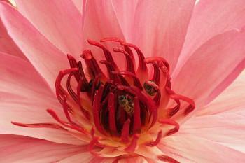 linden 菩提樹の花
