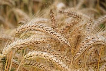 barley 大麦