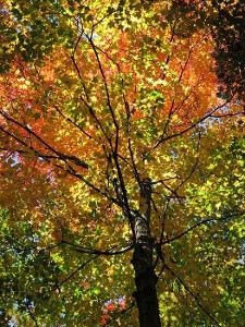 サトウカエデの木の画像