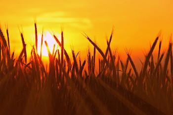 ライ麦畑の画像