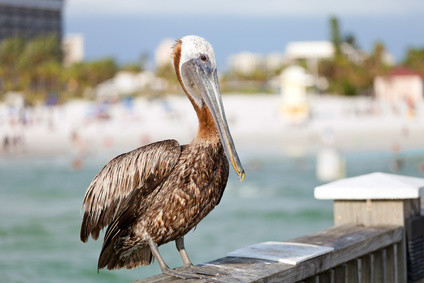 "Der ""Pelecanus occidentalis"". Floridas Pelikan!"
