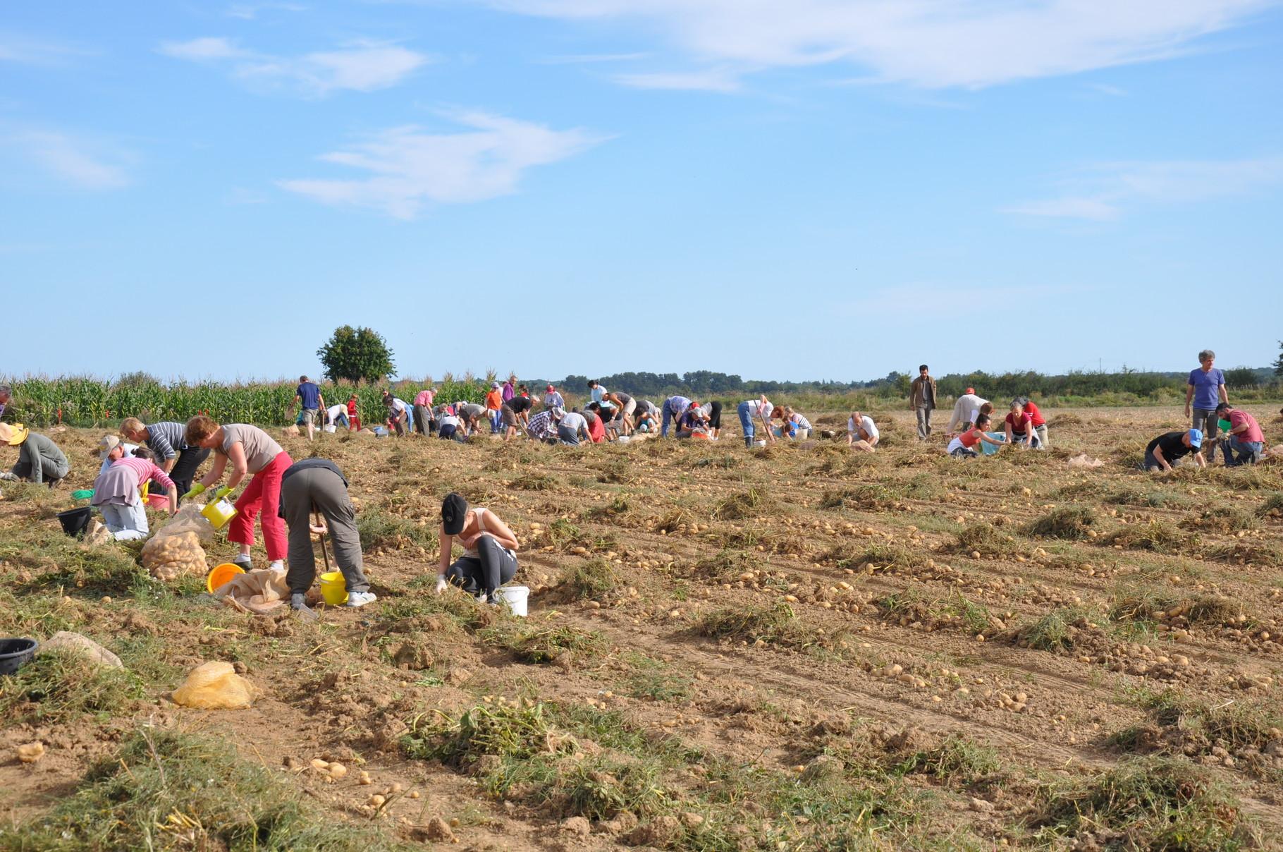 AMAP des Jardins de Cérès: ramassage des patates par les bénévoles (photo AMAP)