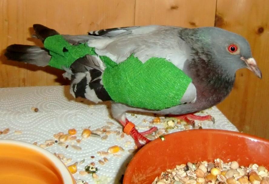 Flügelverband nach tierärztlicher Behandlung
