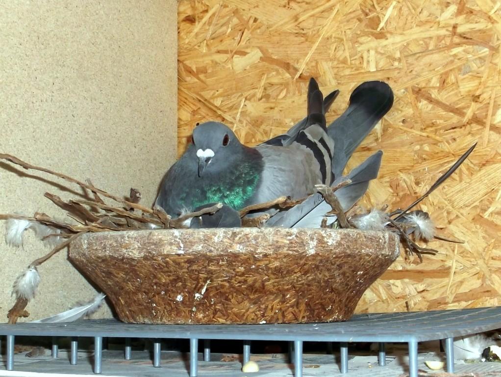 brütende Taube auf Gipseiern