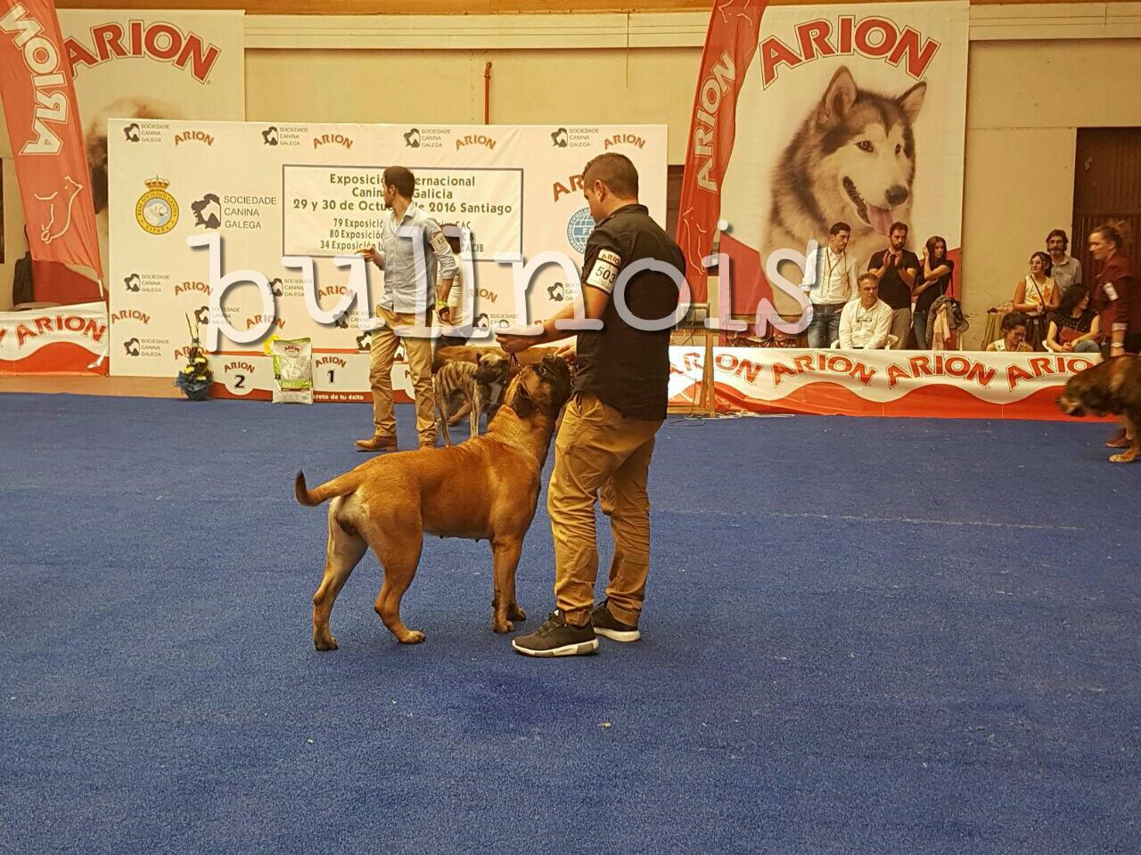 ENIGMA EN EXPO SANTIAGO BEST OF BREED