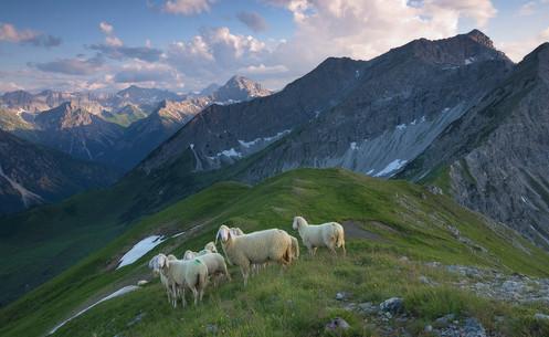 weiße Bergschafe