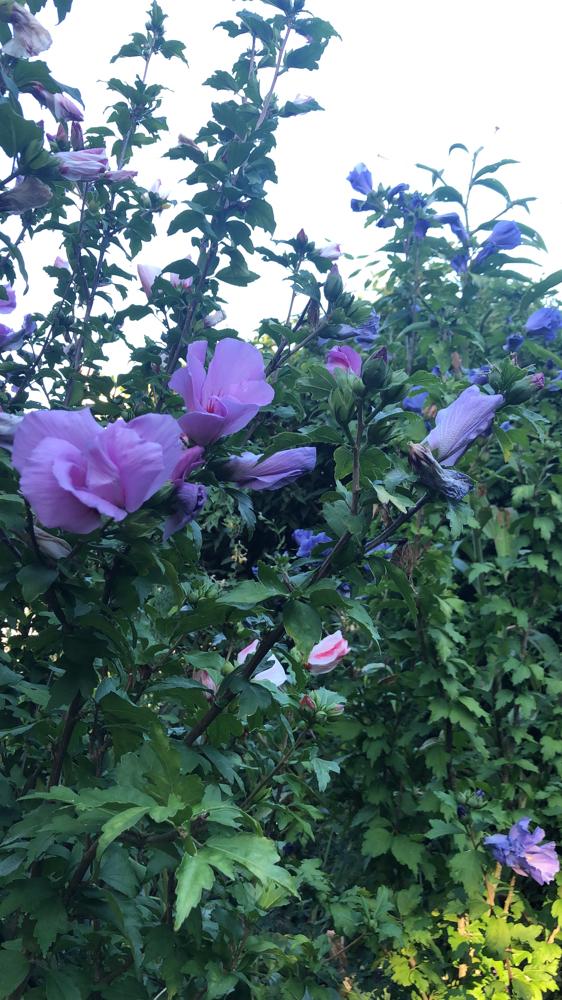 Ich liebe Hibiskus, generell Malven in allen Grössen und Farben.