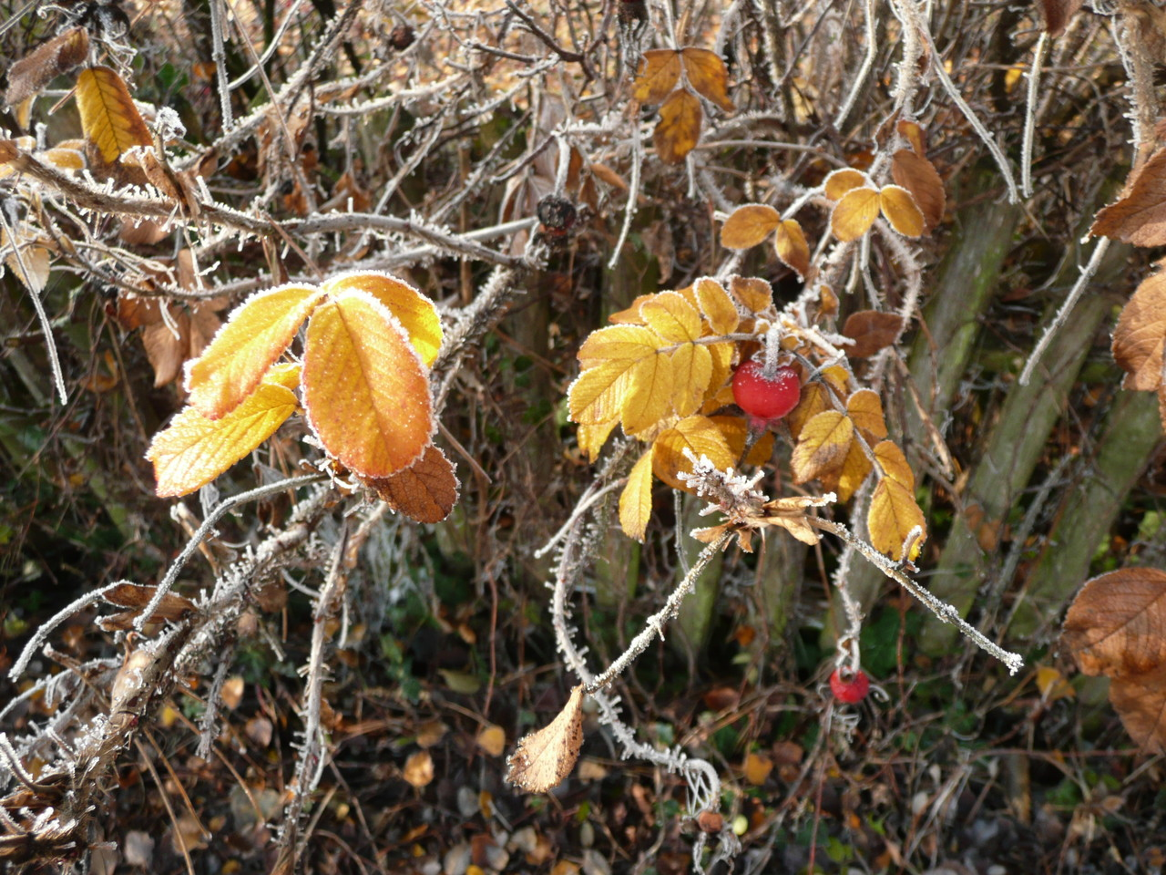 Erster Frost - Fotos/Copyright: Franz Lutje