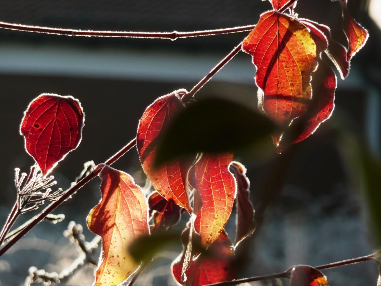 Frostblätter - Fotos/Copyright: Franz Lutje