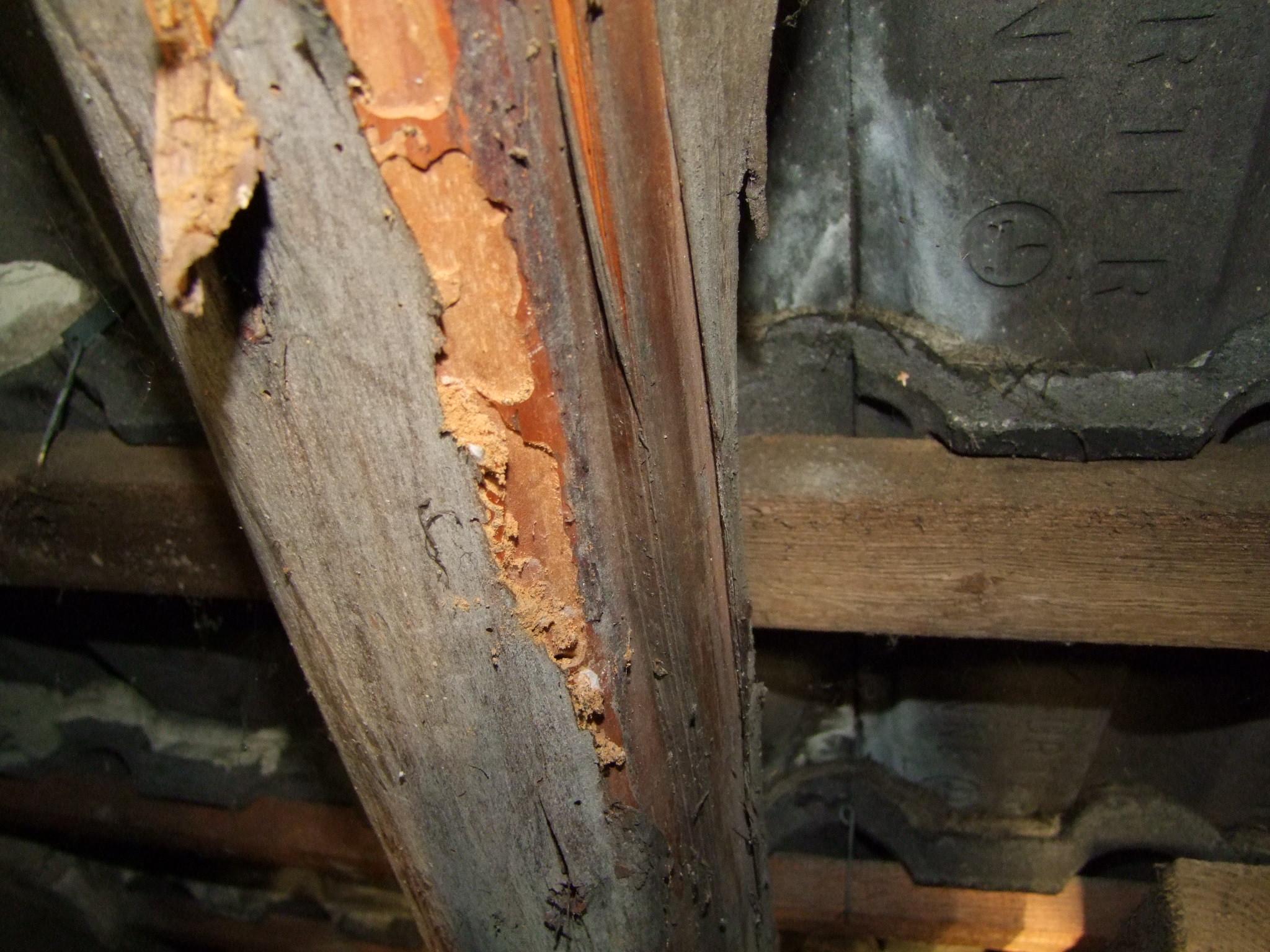 Untersuchung bei Holzschäden durch z.B: Holzbock oder Anobien (Holzwürme) sowie Sanierungskonzepte.