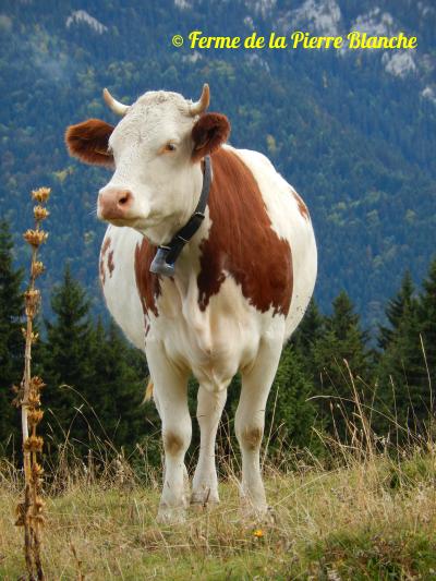 Vache de race Montbéliard