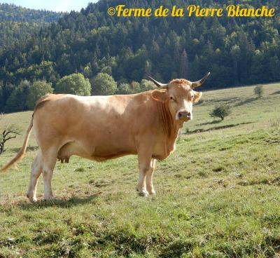 Vache de race Villard de Lans