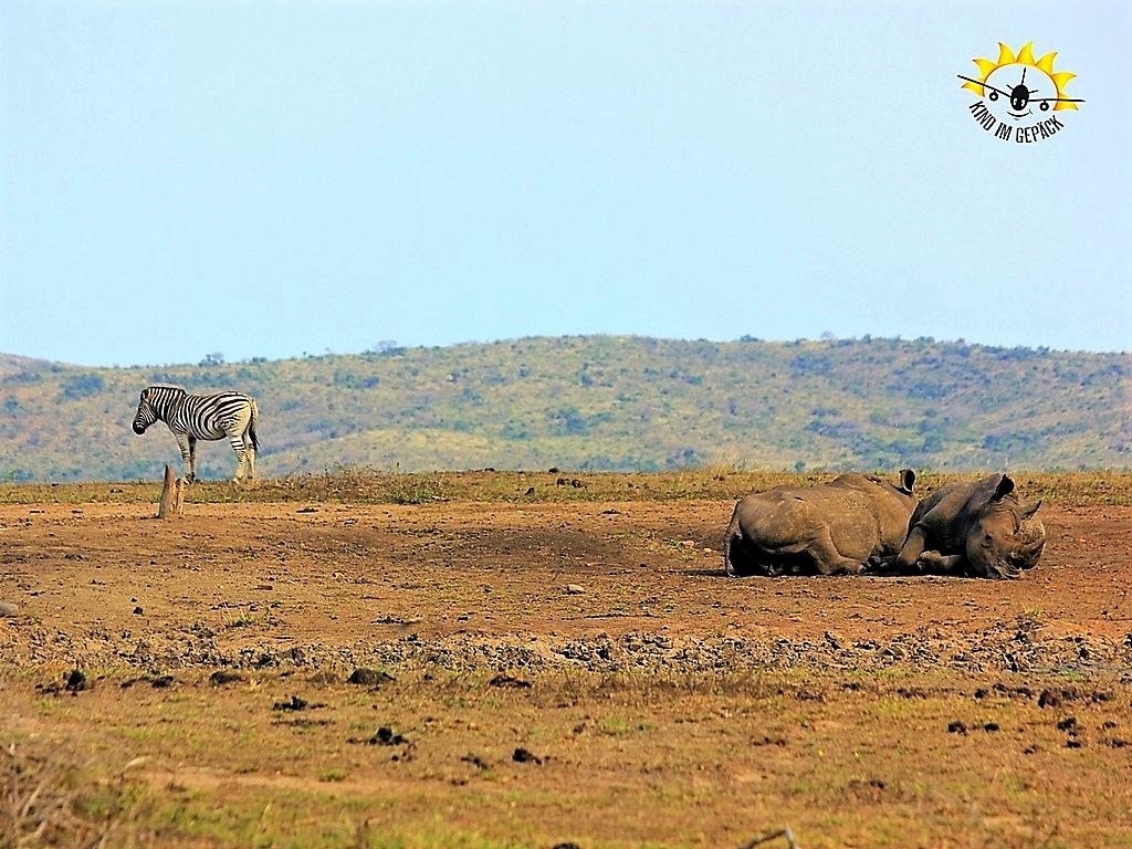 Wie gemalt: ein Zebra und zwei Nashörner im Hluhhluwe-Imfolozi Games Reserve.