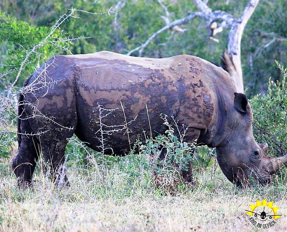 Eines der vielen Nashörner im Hluhluwe-Imfolozi Game Reserve.