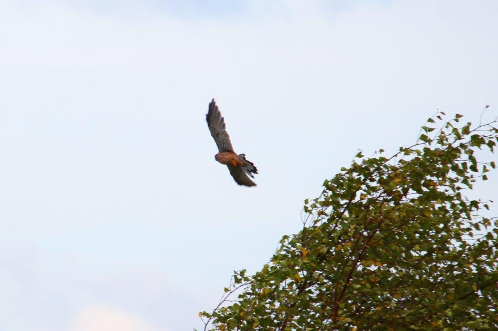 Dynamischer Abflug des Falken vom Beobachterposten.
