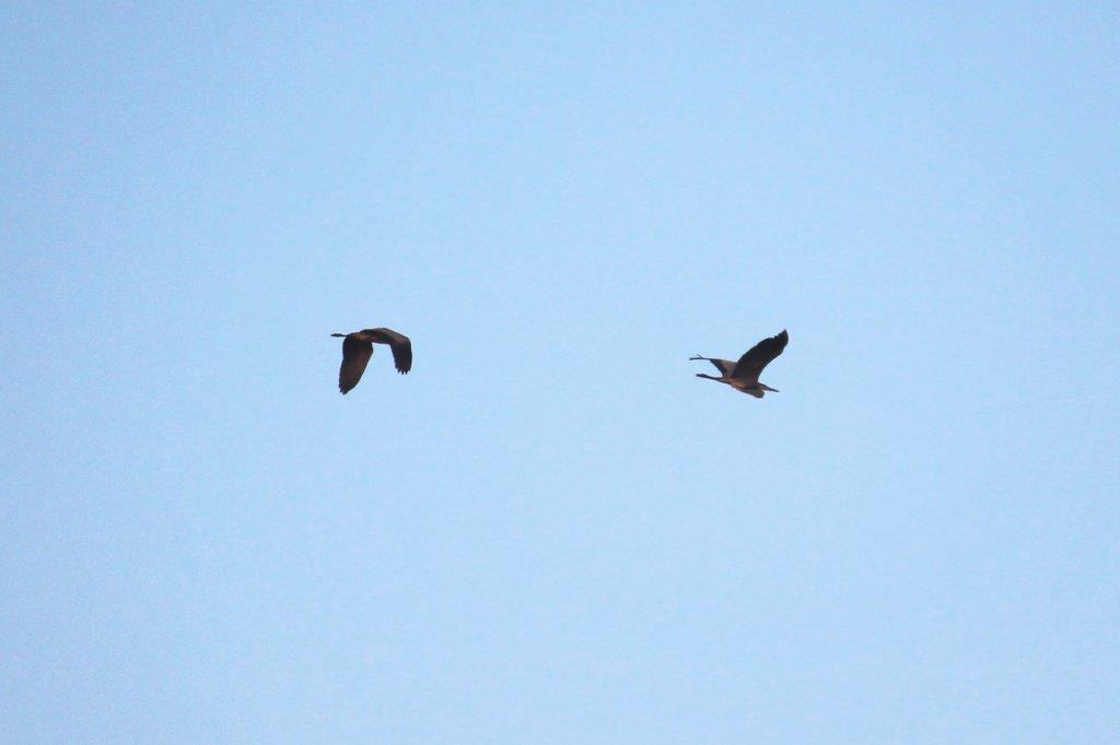 Das Graureiherpärchen fliegt zum Frühstück zum Teich.