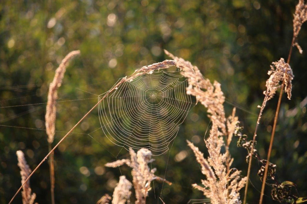 Spinnennetze in Tau gehüllt, wie Perlenketten im Gras.