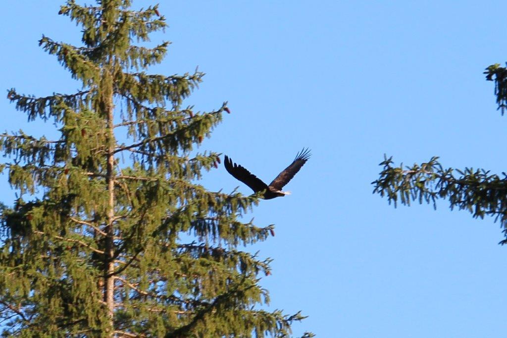 Wundersame Begegnung mit einem Seeadler im Wald!