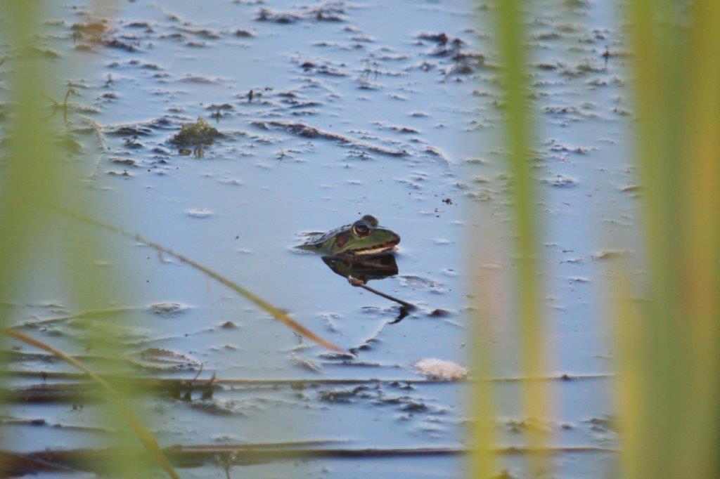 Ein Teichfrosch beobachtet die Fotografin, oder umgekehrt.