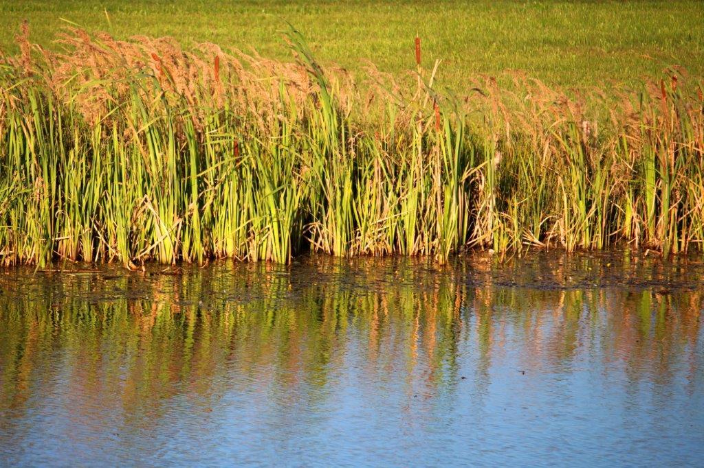 Das Ufer im Teich bei Ullrichs im Abendlicht