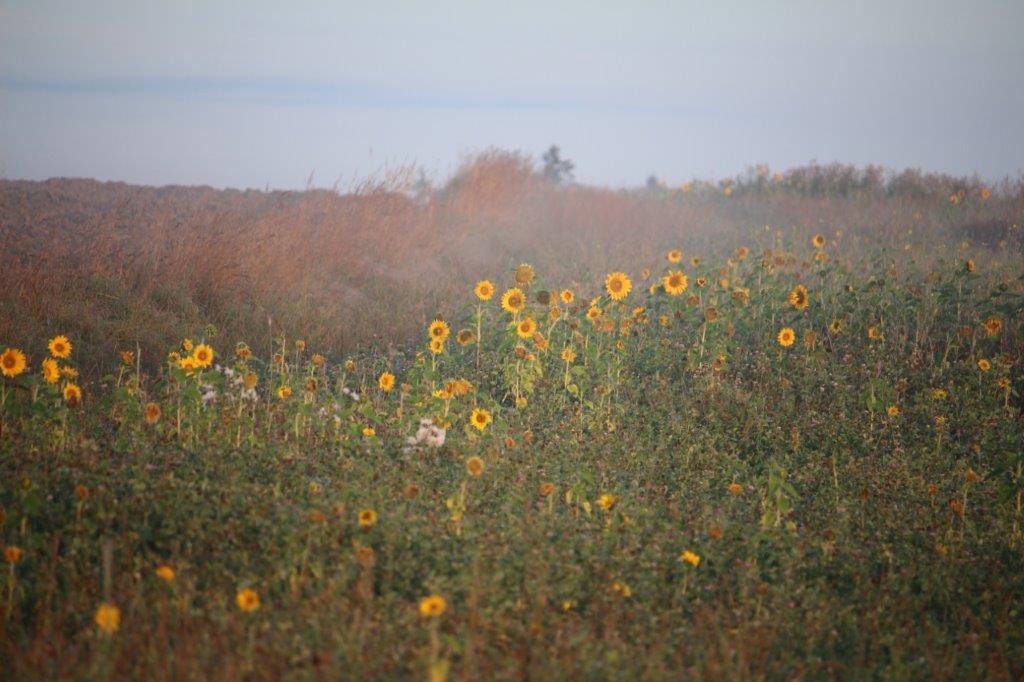 Sonnenblumen freuen sich in der aufgehenden Sonne.