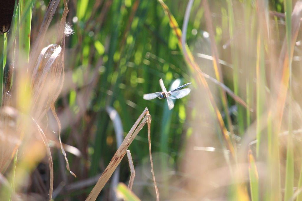 Libelle namens Blaugrüne Mosaikjungfer