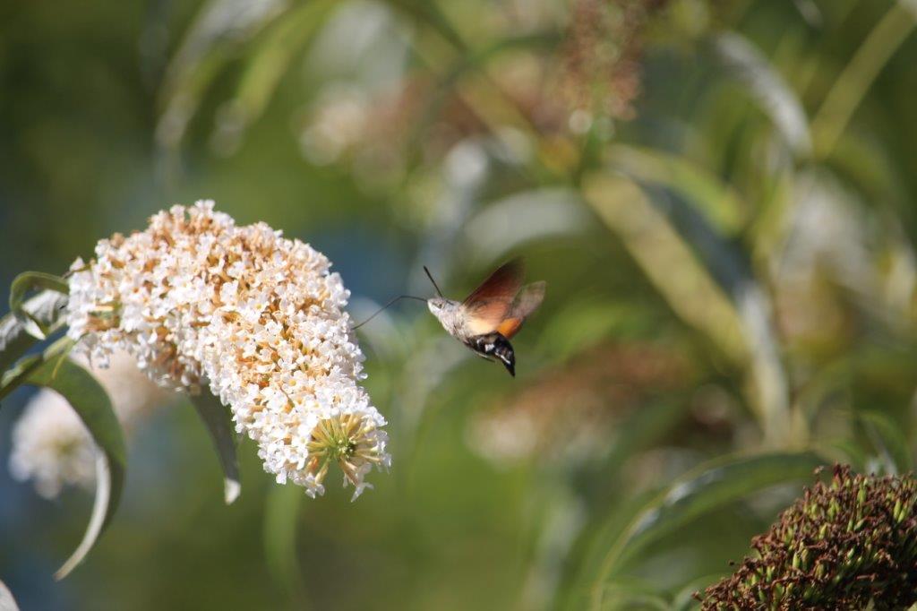 Schmetterlingsflieder mit Taubenschwänzchen