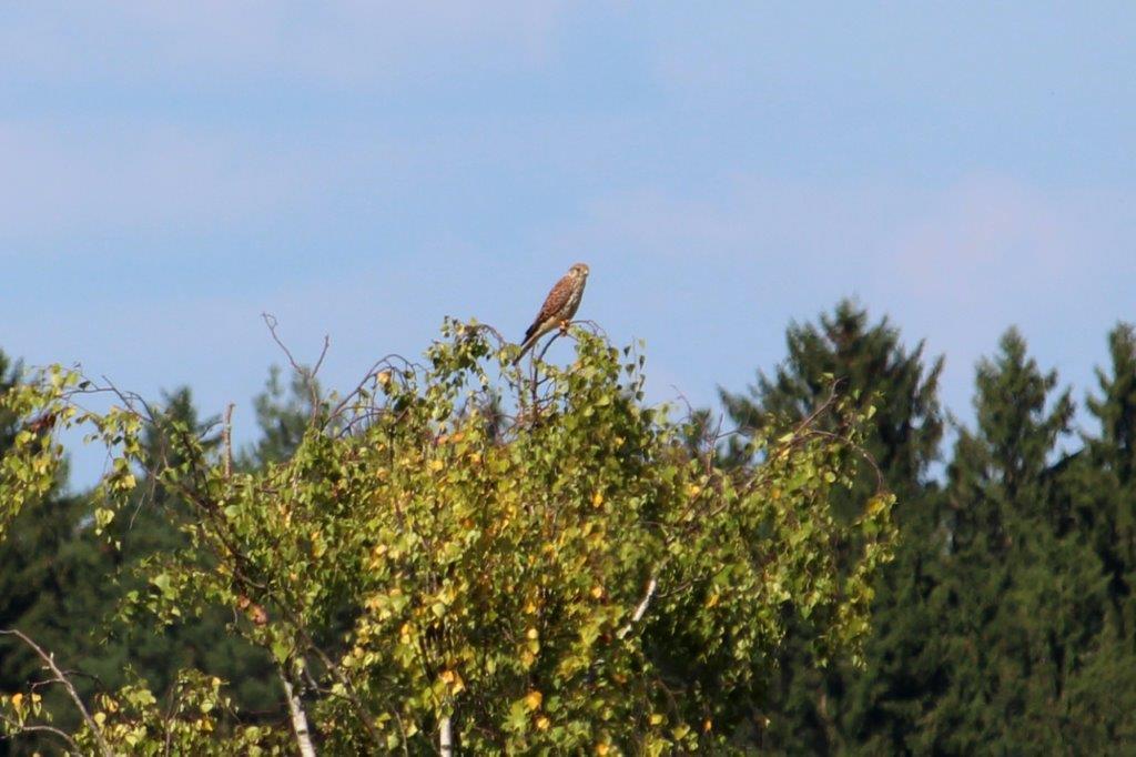 Ein Falke beobachtet.