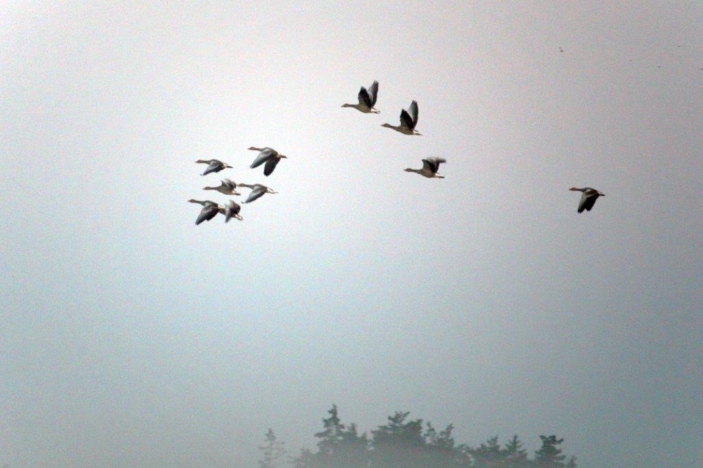 Graugänse formieren sich in der Luft.