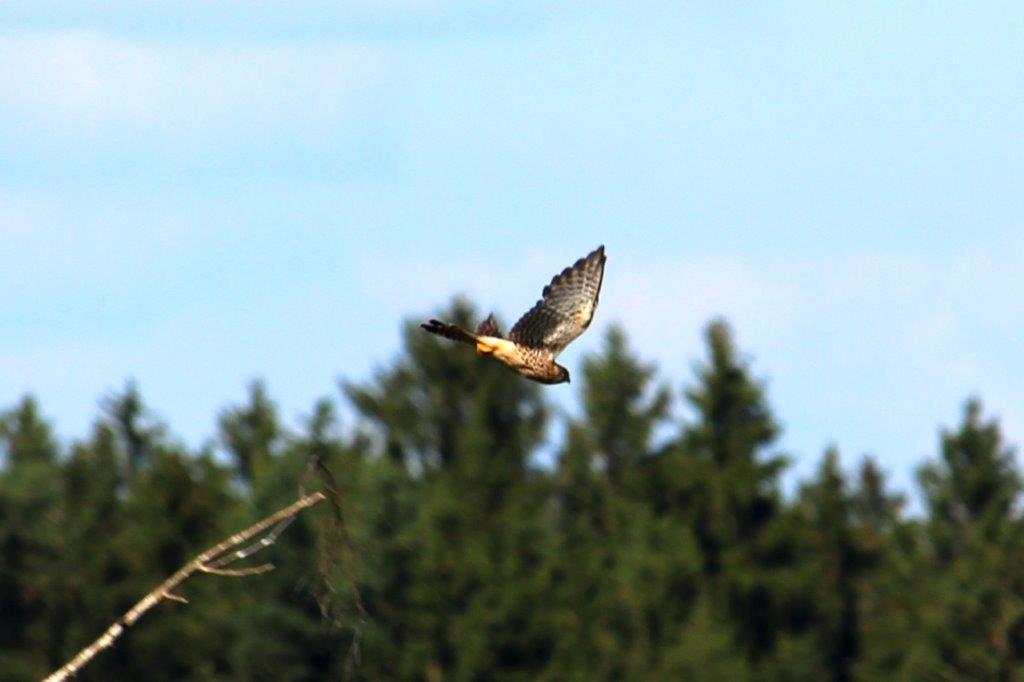Falke fliegt Richtung Feld, zum Rütteln. Arme Mäuse!