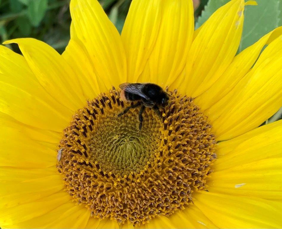 Steinhummel auf Sonnenblume