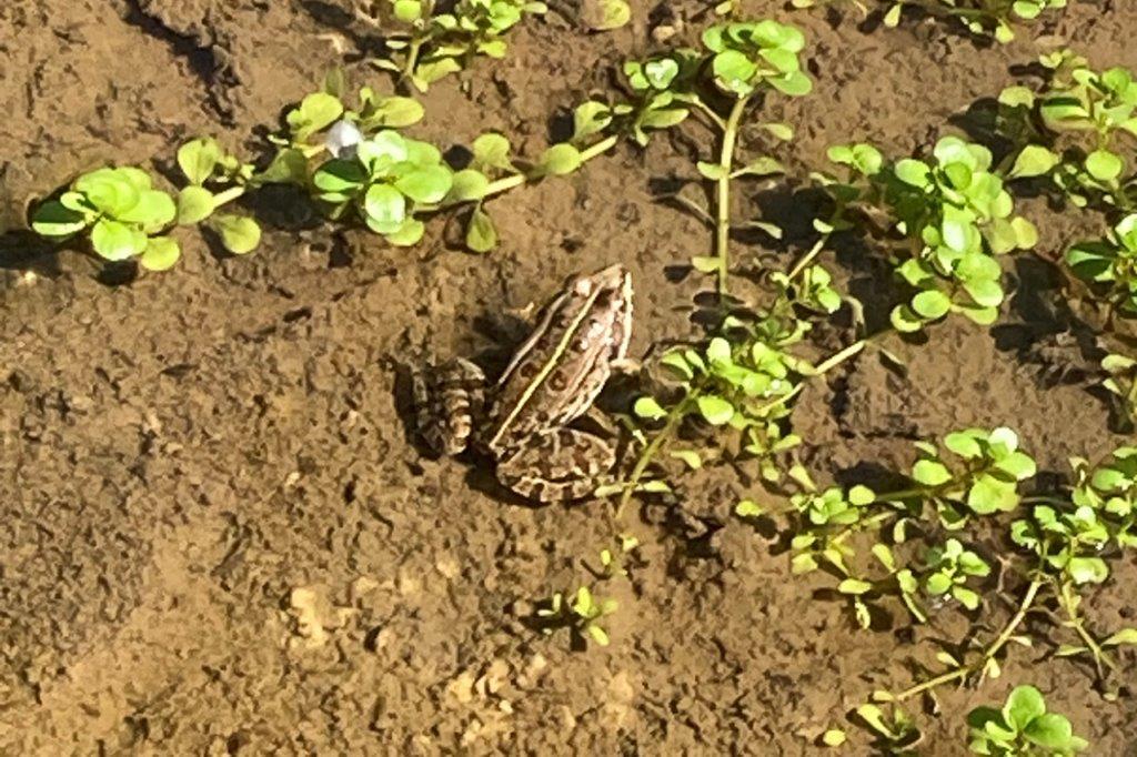 Ein kleiner Moorfrosch