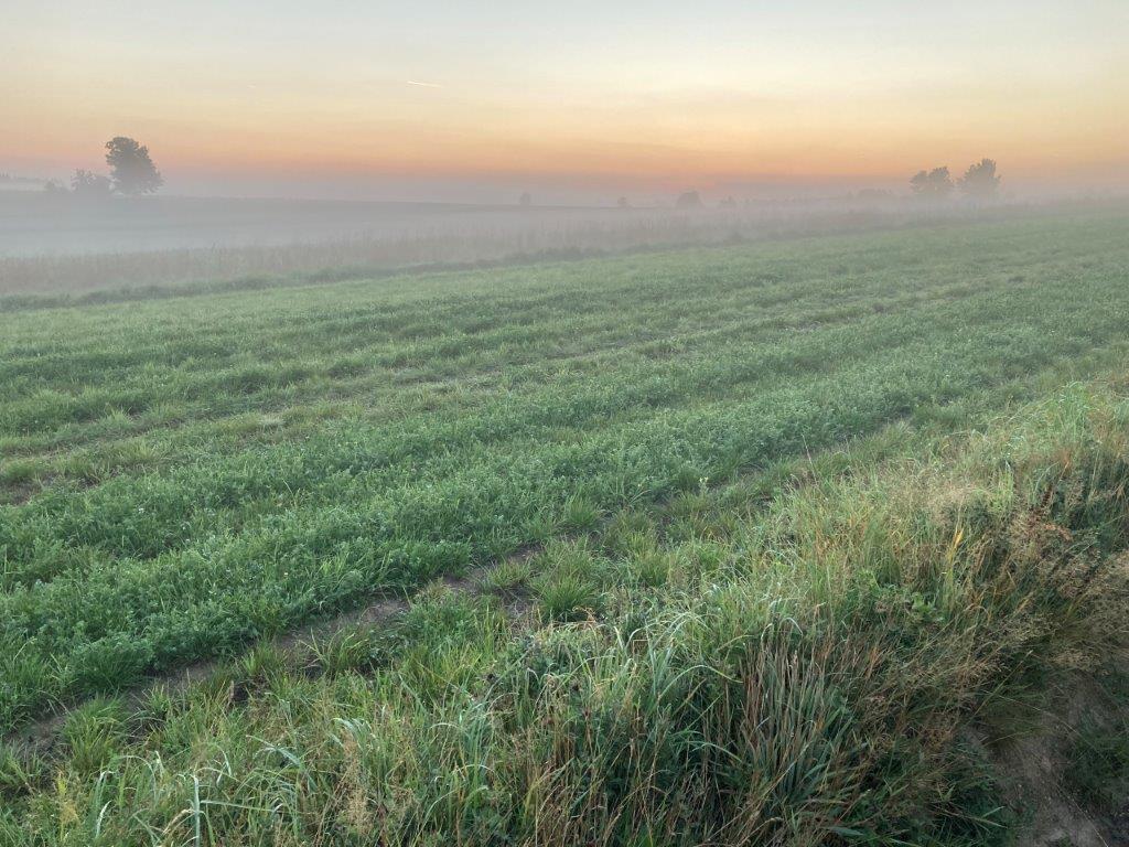 Morgensonne färbt taunasses Feld.