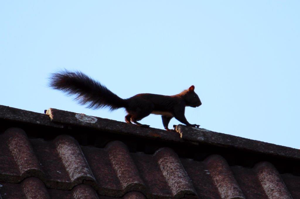 Eichhörnchen spaziert über das Dach.