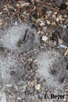 Trichter des Ameisenlöwens