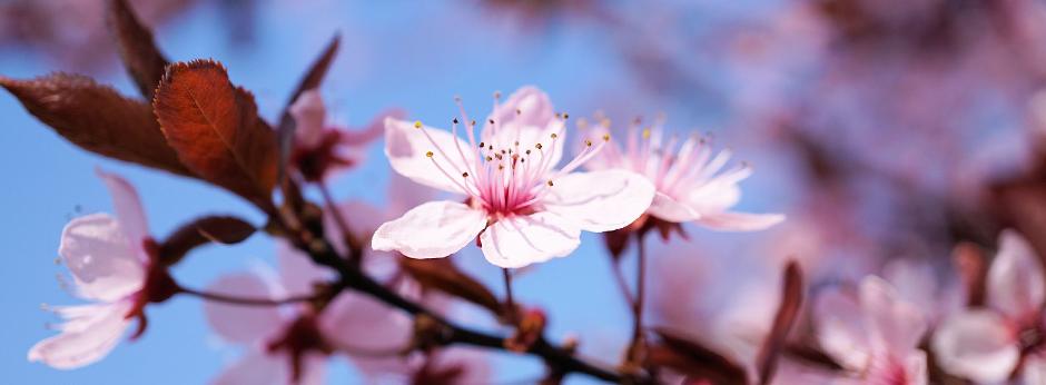 Kirschbaumblüte Kirschblüte