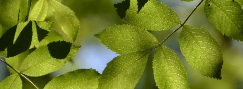 Eschenblätter im Wald