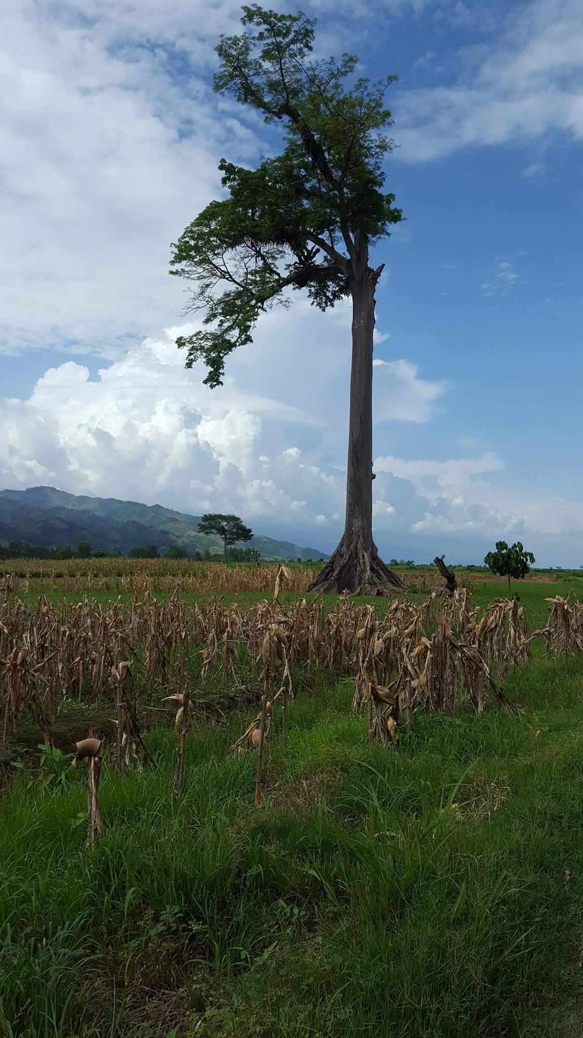 Der Nationalbaum Gzatemalas