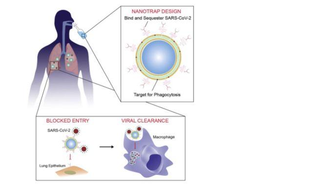 Nanotrampas que atraen nuevos coronavirus y los destruyen dentro del cuerpo ...