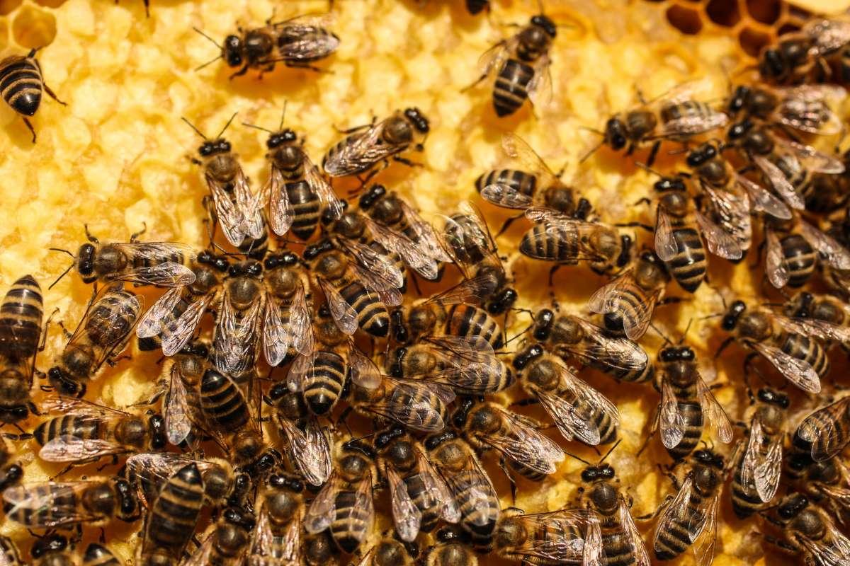 Efecto Brexit, 15 millones de abejas italianas atrapadas en la frontera corren peligro de morir ...