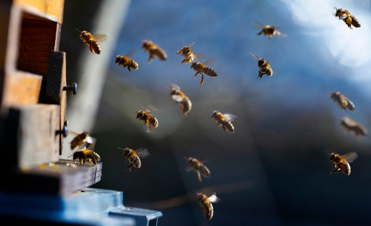Las primeras 'abejas nocturnas' han sido descubiertas en Australia: se han adaptado para ver en la oscuridad...