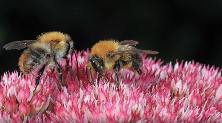 ¡No solo glifosato! Los ingredientes inertes en Roundup y otros pesticidas están matando los abejorros ...