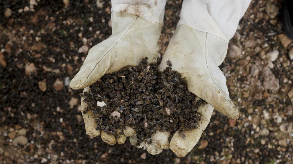 Masacre de abejas: los insecticidas alterarían su ADN ...