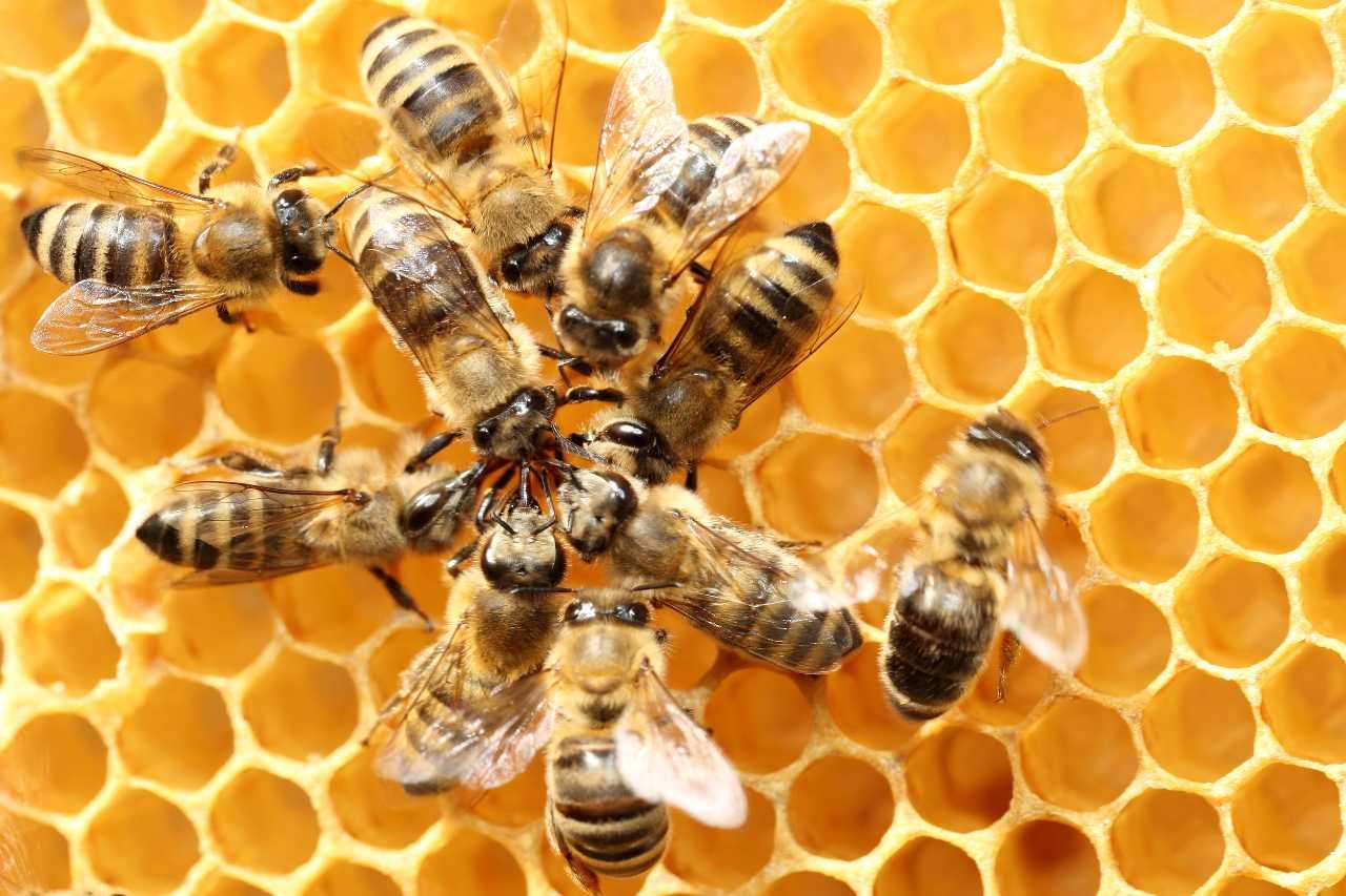Maravillosas abejas: una nueva investigación revela detalles sobre la evolución de su vida social ...