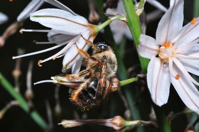 La diversidad de las abejas es fundamental para el suministro mundial de alimentos...