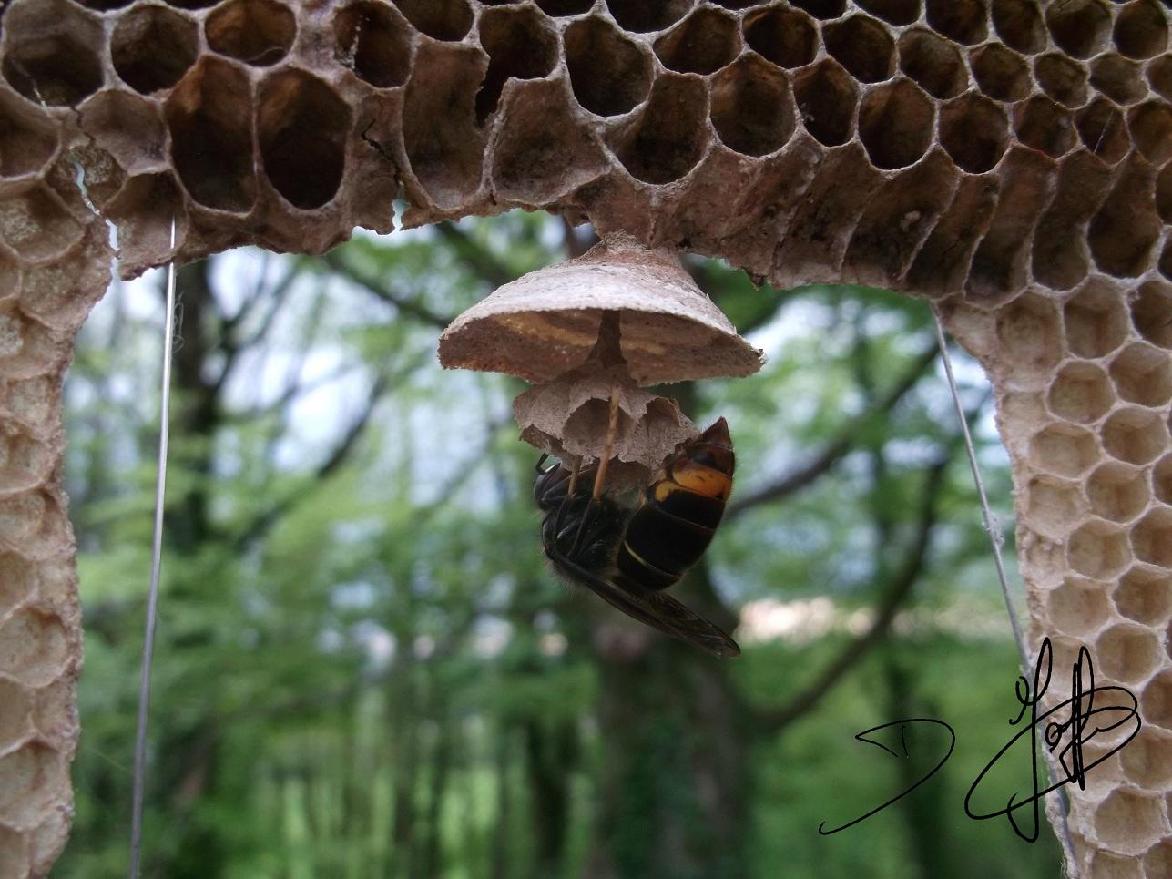 Contra la plaga del avispón asiático, un apicultor inventa una trampa revolucionaria que captura solo a las reinas ...